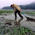 Pacific Oysters Gain from Ocean Acidification Data