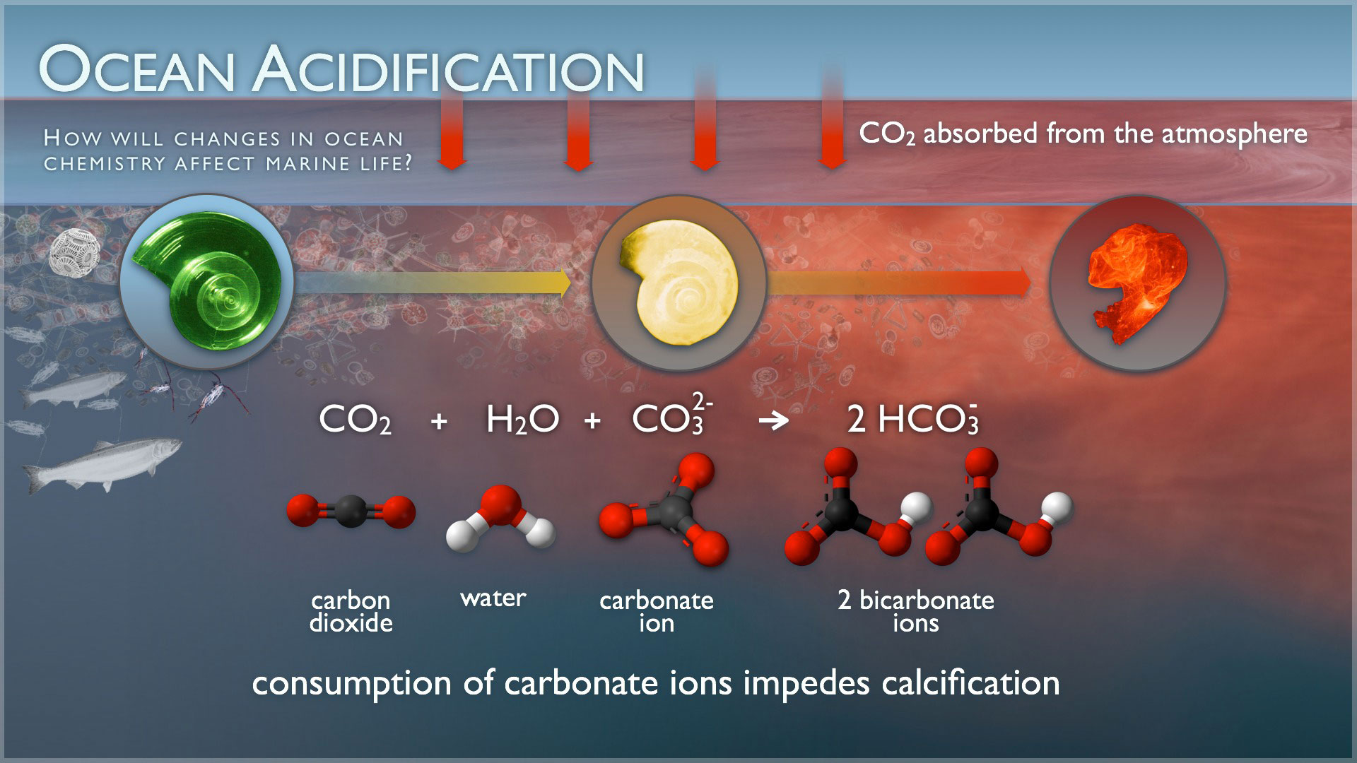 the negative effects of ocean acidification in the article our deadened carbon soaked seas