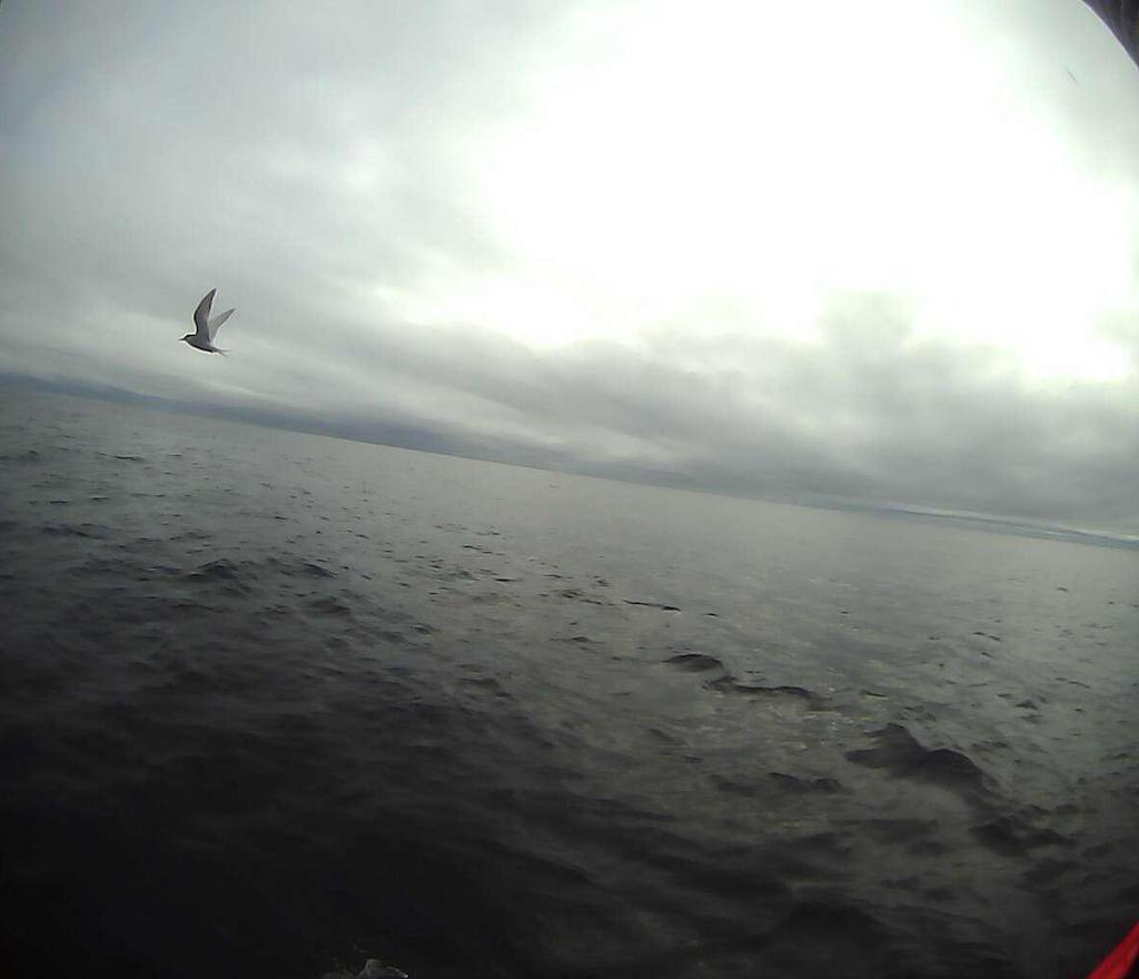 arctic tern I.png