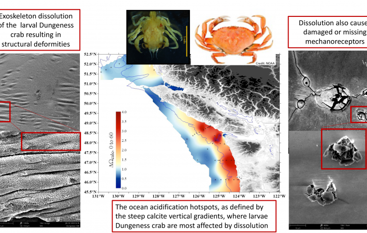 This infographic shows the location of larval Dungeness crab sampling in 2016, examples of impacts from ocean acidification, as well as photos of a larval (left) and adult (right) crab. Credit: Nina Bednarsek, SSCWRP.